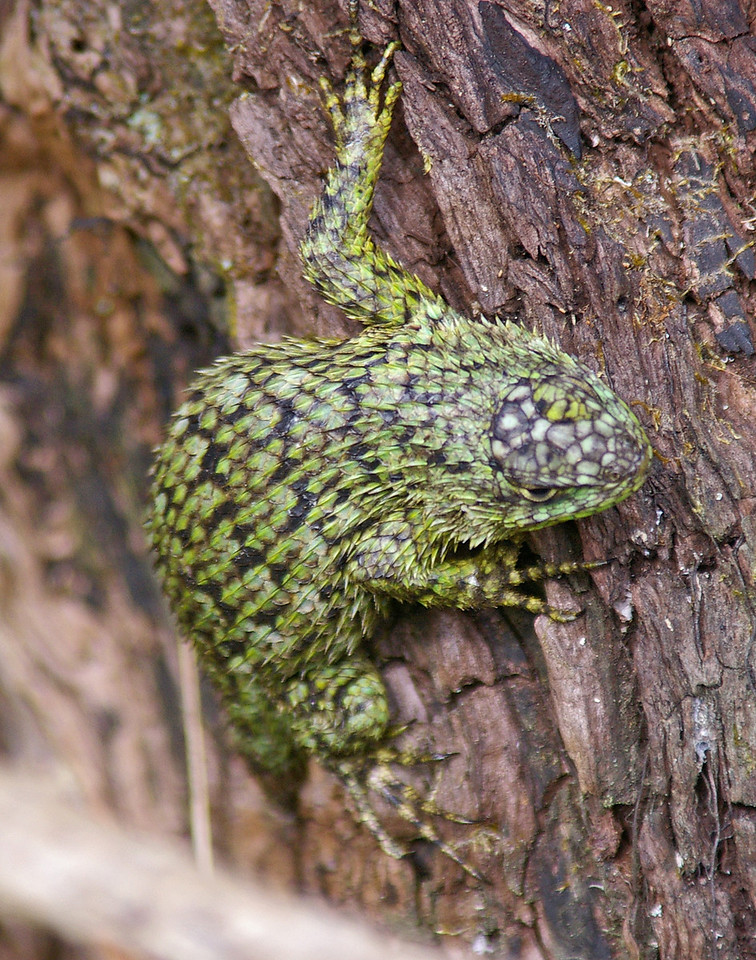 Green spiny lizard.