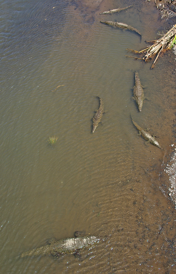 """Crocodiles along a river as viewed from a bridge.  There  was a """"no diving"""" sign on the bridge."""