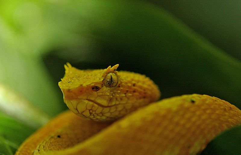 Eyelash vipers are very deadly.  They are also very fast.  They can hang by their tail and wait for a victim.