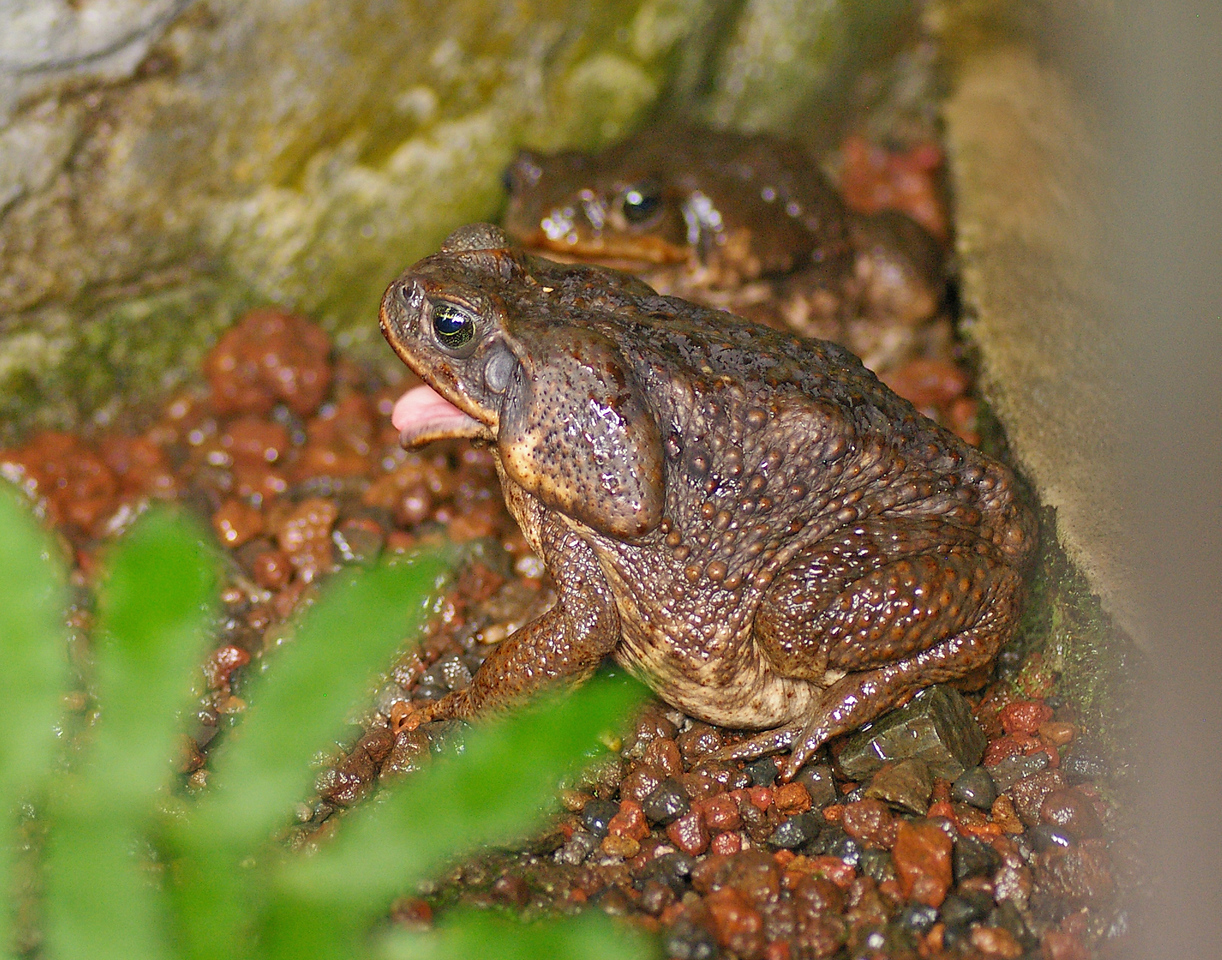 Cane Toad, or Marine Toad