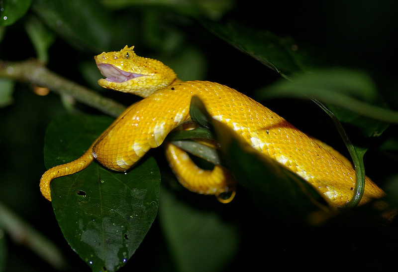This eyelash viper was in a branch over the trail at eye level.  This was on a search for nocternal creatures near La Fortuna.