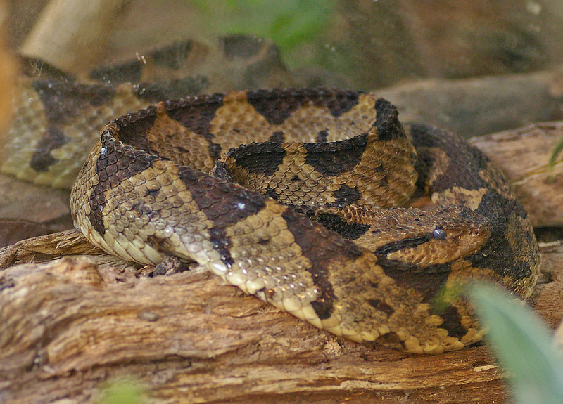 Tropical Rattlesnake
