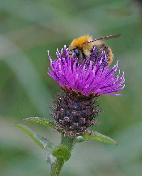 National flower of Scotland,  Thistle