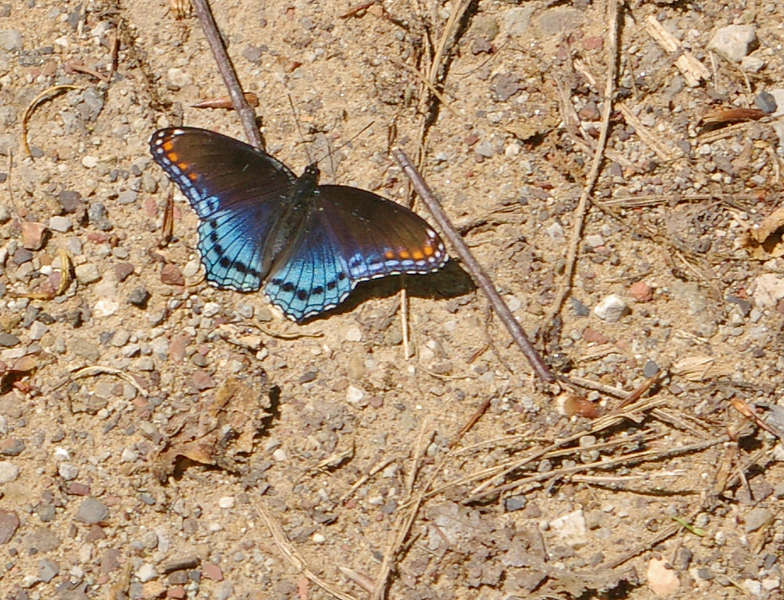 butterfly at Kanawha State Forest