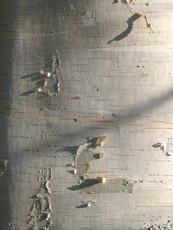 White birch tree (Betula papyrifera) trunk; also known as paper, canoe, or silver birch.