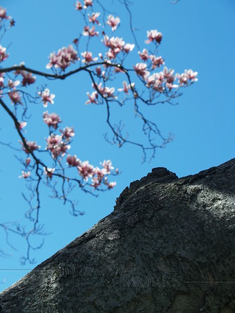 Magnolia trunk & branches in spring, Quakertown, PA