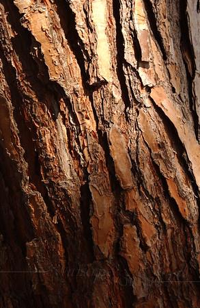 Torrey Pine bark; La Jolla, CA
