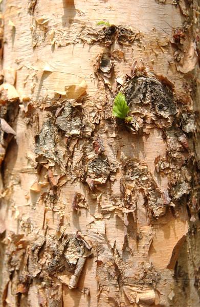Birch bark found in Teardrop Park, Manhattan, NYC