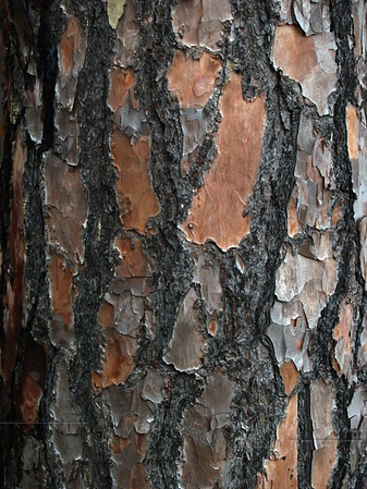 Slash pine bark (Pinus elliottii)