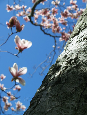 Magnolia soulangeana trunk, with flowers in background