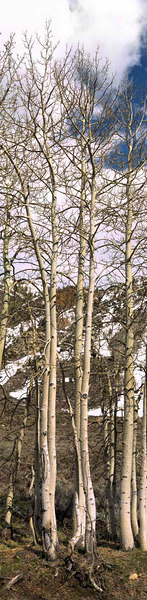 Aspen<br /> Populus tremudoides<br /> <br /> Use size 'O' to view full size panorama.