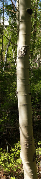 Aspen<br /> Populus tremuloides<br /> <br /> Use size 'O' to view full size panorama.