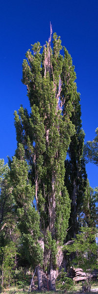 Lombardy Poplar, Bishop CA<br /> populus nigra<br /> <br /> Use size 'O' to view full size panorama.
