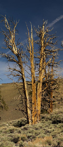 Dead Bristlecone Pine<br /> White Mountains<br /> <br /> Use size 'O' to view full size panorama.