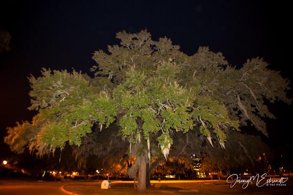 Tree at FSU