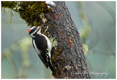 Hairy Woodpecker.