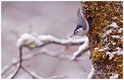 White-breasted Nuthatch.