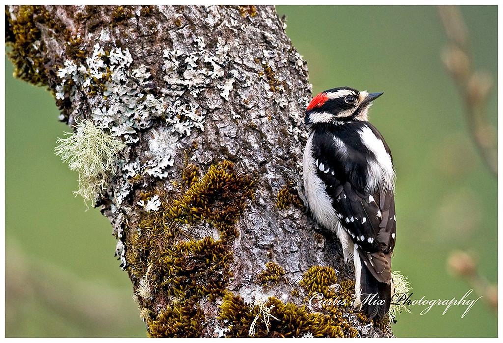 Male Downey Woodpecker.
