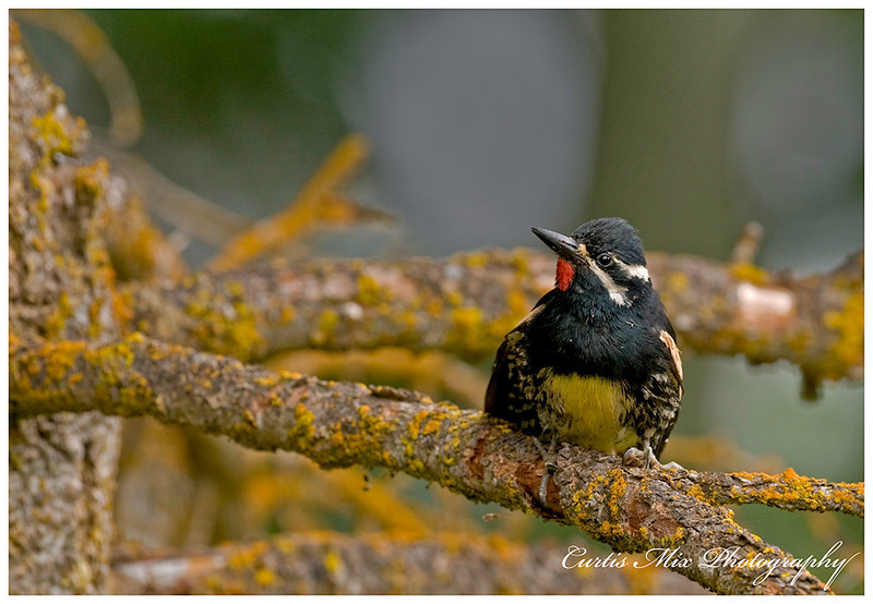 The front of the male Williamson's Sapsucker. It took a lot of patience to get this pose.