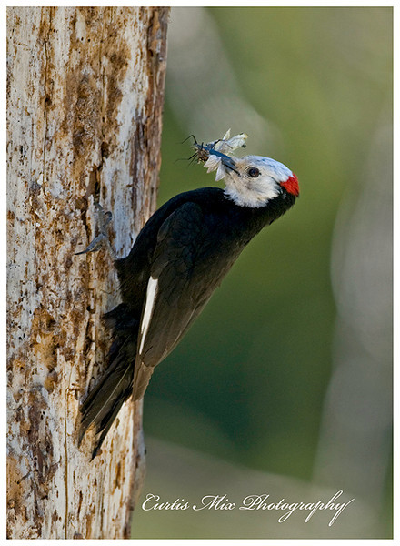 The male White-headed Woodpecker brings dragonflies.