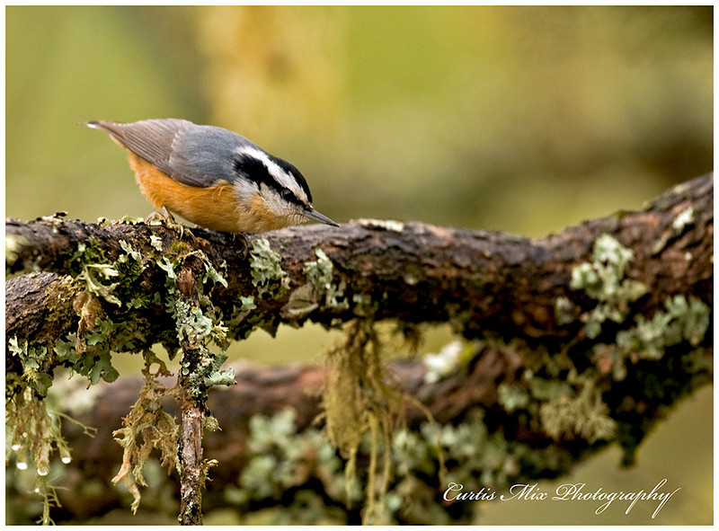 Red-breasted Nuthatch.