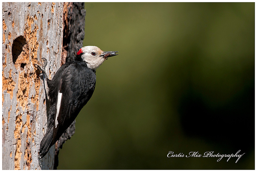 A White-headed Woodpecker brings food for the chicks.