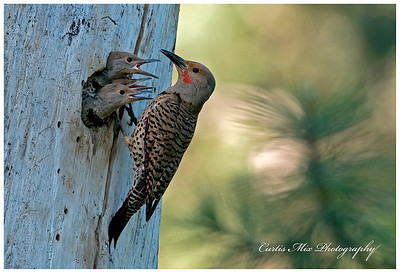 Male Gilded Flicker takes his turn feeding the young.