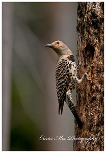 Looking back. Female gilded Flicker.