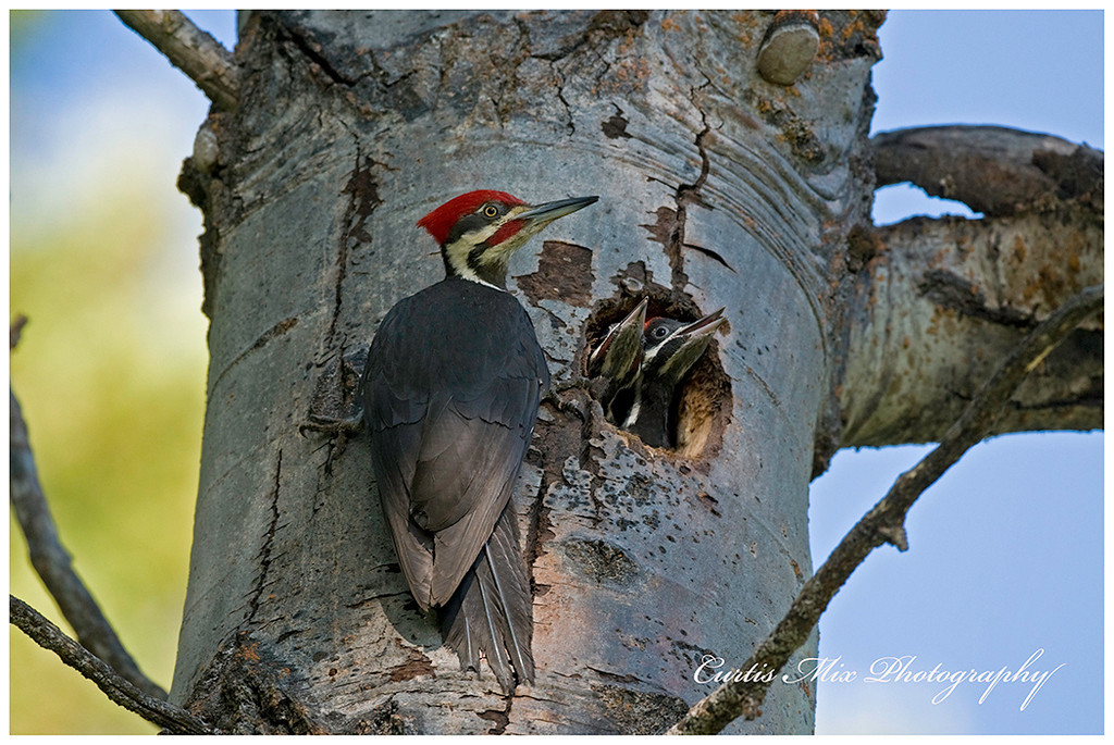 Male Pileated Woodpecker and young.