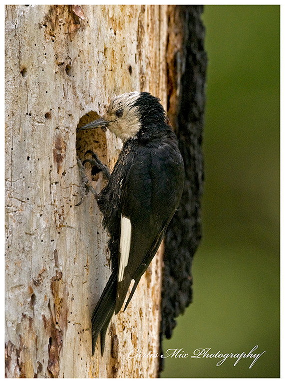 The female White-headed Woodpecker tending her young. She is covered with pitch from gathering food.