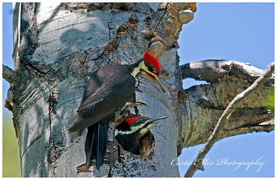 The male Pileated Woodpecker takes his turn on the nest in an Aspen tree. The female is just leaving.