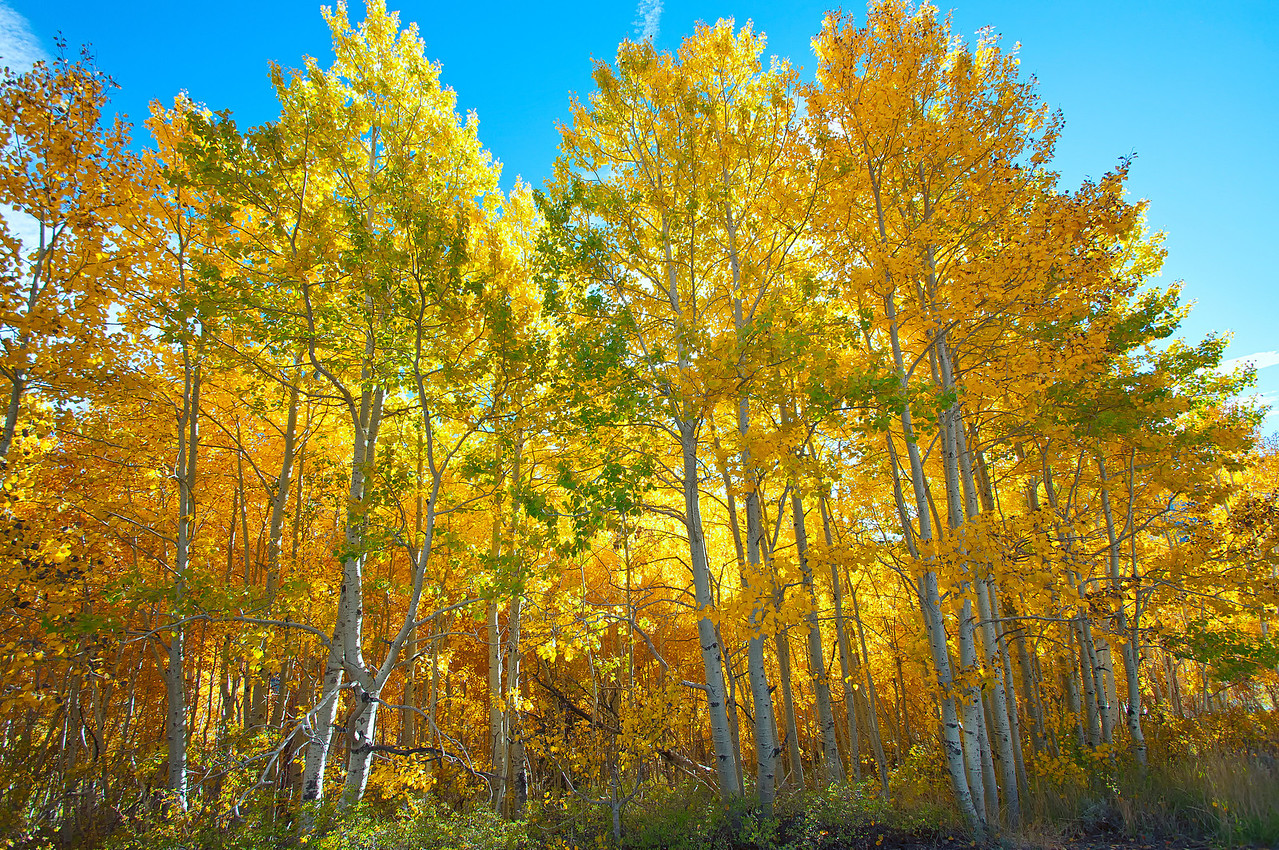 June Lake Fall Colors1
