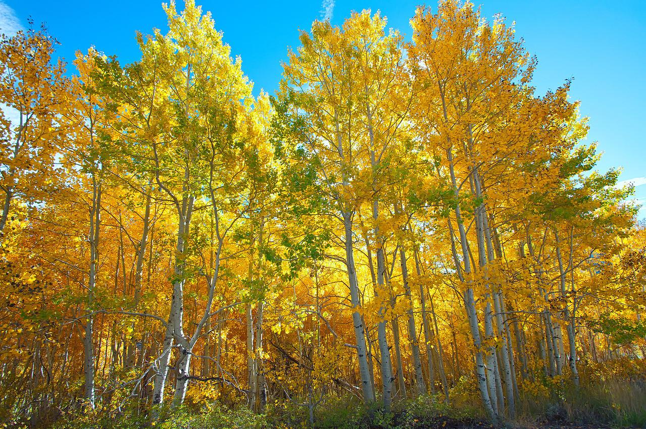 June Lake Fall Colors1