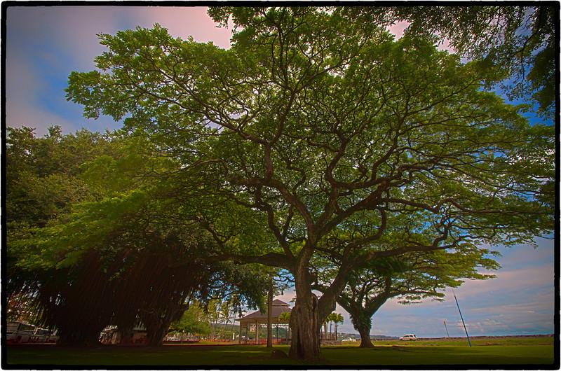 Hilo Hawaiian Ancient Tree