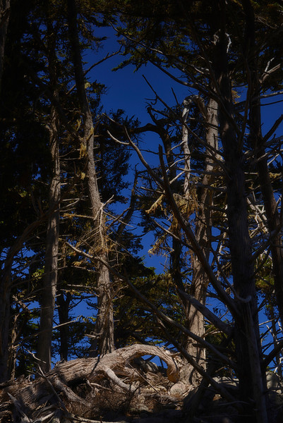 Point Lobos Forest1