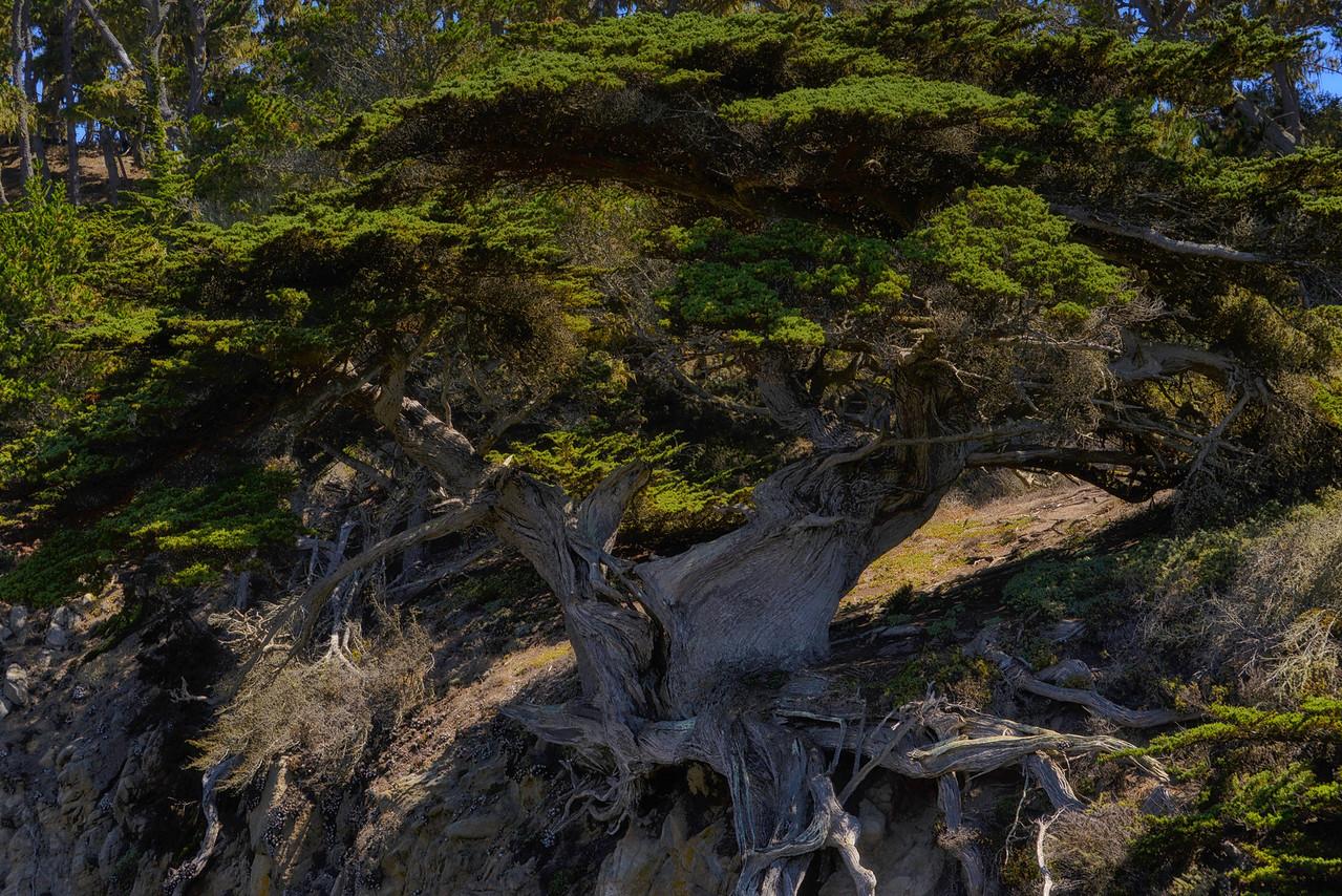 Carmel Point Lobos Twisted Pine