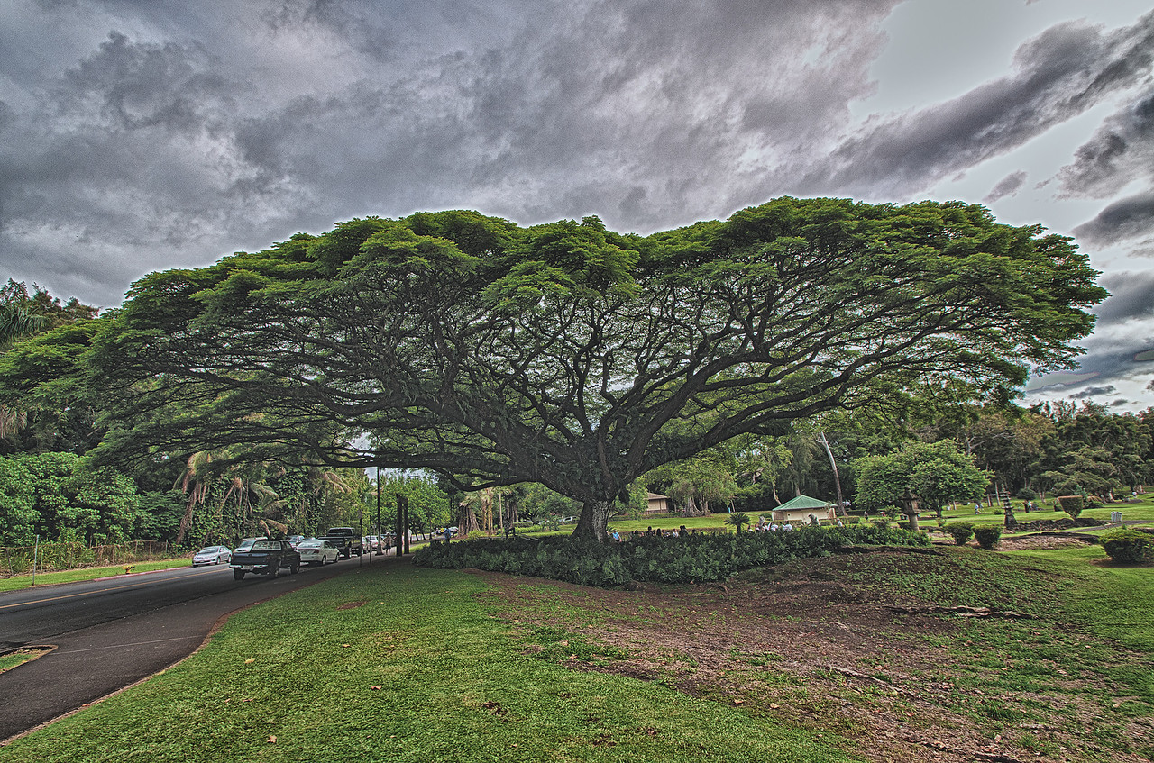 Hilo's Wedding Tree