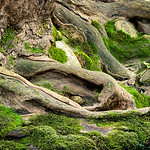 Swift Run Tree Roots