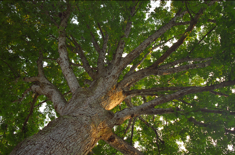 White Oak Canopy