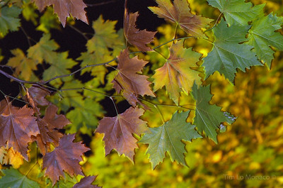 Sycamore Leaves at Night