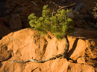 Desert Tree, Near Ghost Ranch, New Mexico
