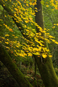 Fall Color, Devils Gulch, Samuel P. Taylor State Park