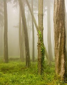 Fog in the Presidio