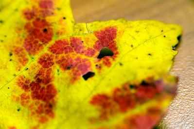 Yellow leaf, Waltham MA