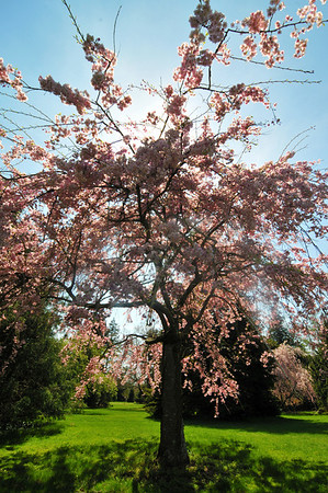 Cherry tree, Bayard-Cutting Arboretum