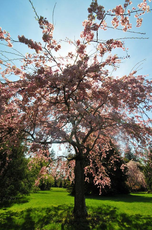 Cherry tree, Bayard-Cutting Arboretum