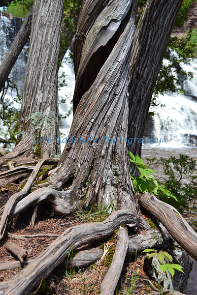 Twisted Sister: Keeping watch over cascading falls, this beautiful tree has strong roots.