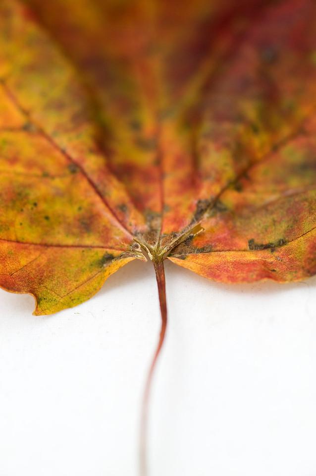Fading Leaf