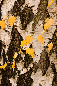 Tree Detail, Ross, Marin
