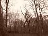 Sepia Trees 2